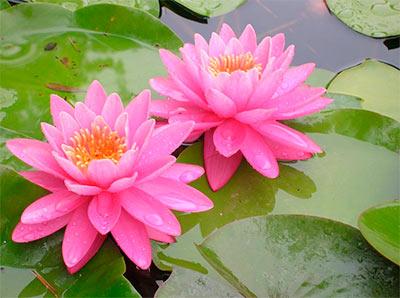 Nuovi arrivi piante da laghetto centerzoo lariano for Piante da laghetto ossigenanti