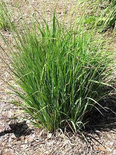 Nuovi arrivi piante da laghetto centerzoo lariano for Piante laghetto