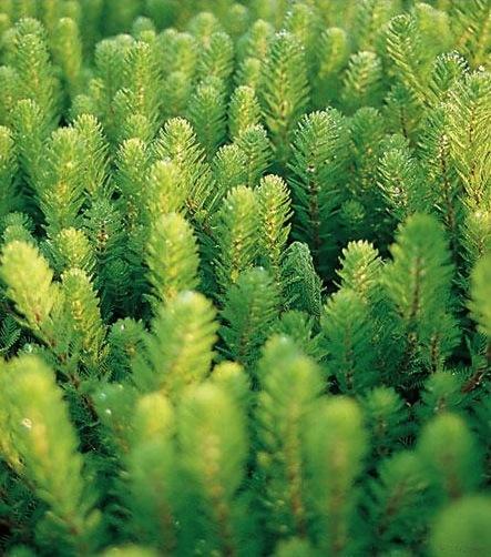 Nuovi arrivi piante da laghetto centerzoo lariano for Piante acquatiche ossigenanti per laghetto