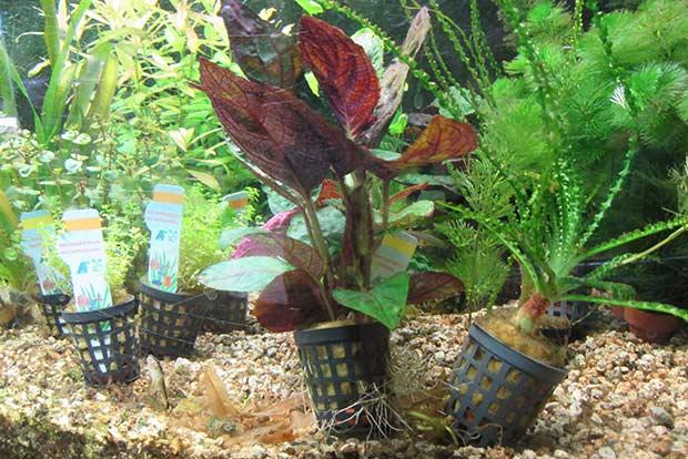 Acquari a como vendita acquari e accessori per acquari for Piante da laghetto