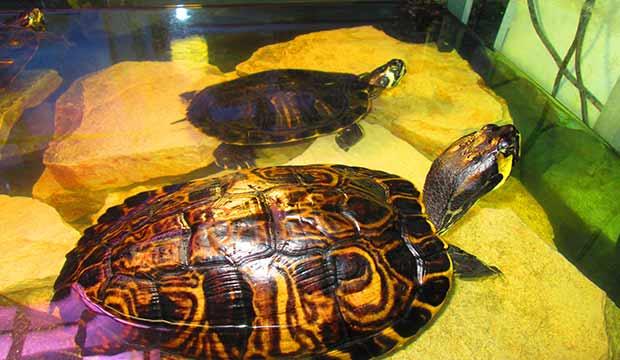 Tartarughe d 39 acqua vendita a como centerzoo lariano for Temperatura tartarughe
