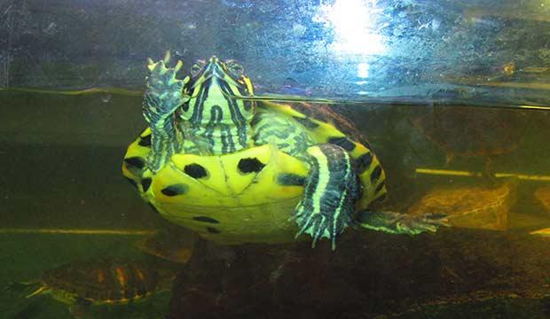 Tartarughe d 39 acqua vendita a como centerzoo lariano for Acqua tartarughe