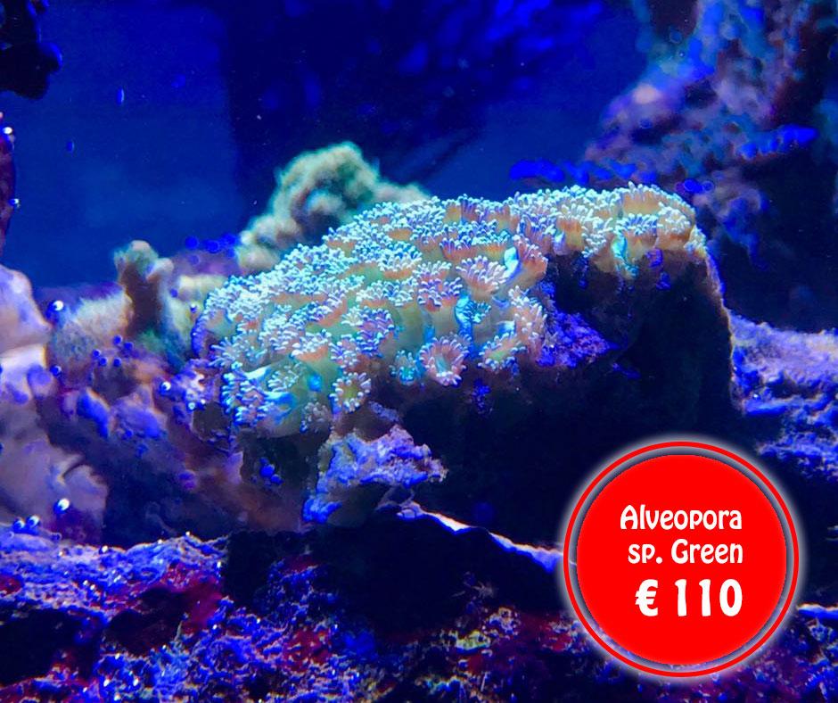 Alveopora-sp.-Green