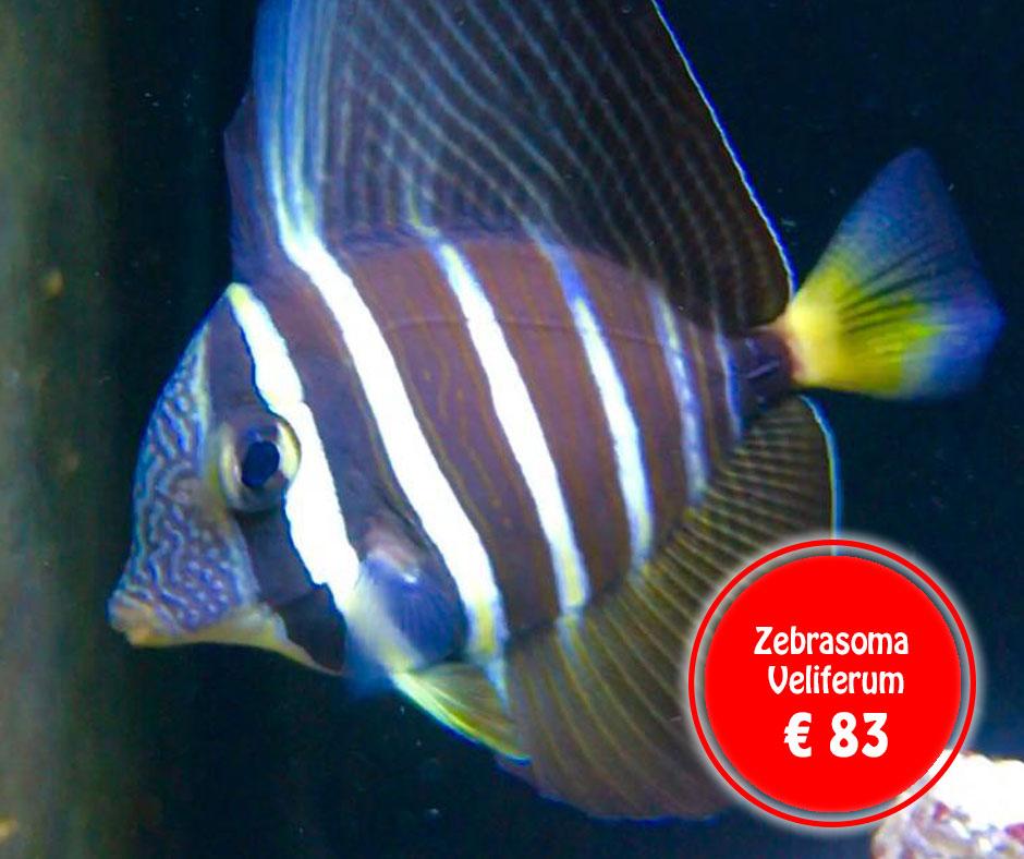 zebrazona-veliferum